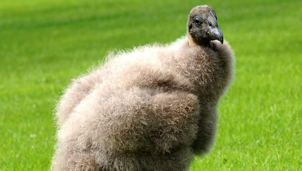 Weltvogelpark Walsrode Andenkondor Chico