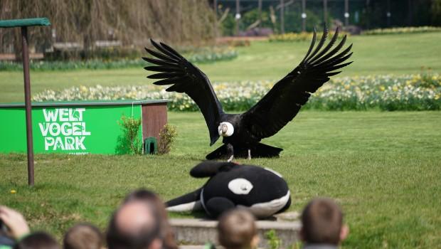 Weltvogelpark Walsrode Andenkondor Flugshow