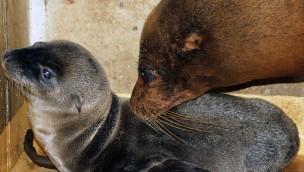 """Zoo Karlsruhe: Seelöwen-Baby der 13-jährigen """"Chicca"""" auf die Welt gekommen"""