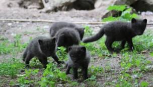 Neunfacher Nachwuchs bei den Polarfüchsen im Zoo Osnabrück: Rasselbande für Besucher schon zu sehen