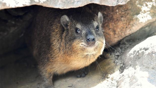 Zoo Rostock Kap-Klippschliefer