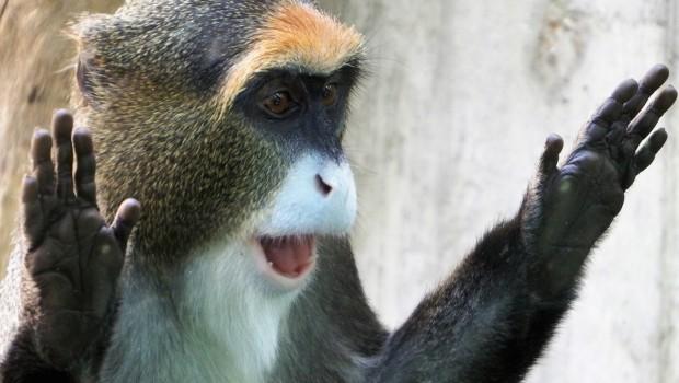 Brazza Meerkatzen Erlebnis-Zoo Hannover Überrascht