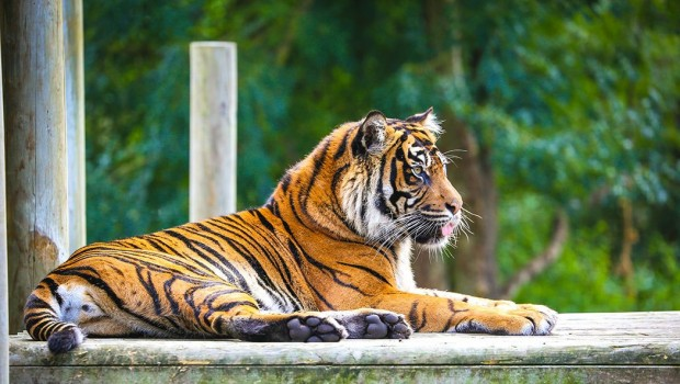 Chessington World of Adventures Sumatra-Tiger