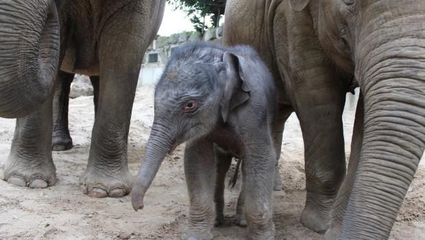 Elefant Nachwuchs im Zoo Osnabrück mit Herde