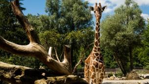 Welt-Giraffen-Tag 2018: Tierpark Hellabrunn mit Aktionstag am 23. Juni