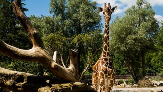 Hellarbunn Giraffe Limber