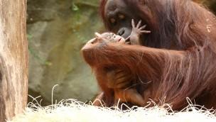 Orang-Utan-Baby im Zoo Rostock geboren: Zehntes Jungtier im Rostocker Zoo