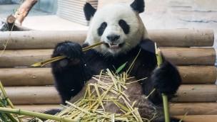 """Pandas im Berliner Zoo zurück: """"Panda Garden"""" ab sofort geöffnet!"""
