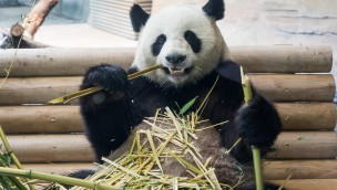 Panda im Zoo Berlin