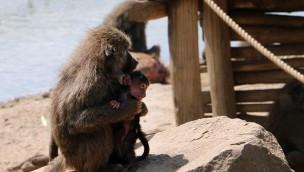 ZOOM Erlebniswelt: Jungtiere bei Pavianen und Schweinsaffen geboren