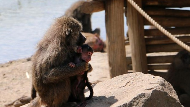 Pavian Baby Zoom Erlebniswelt 2017