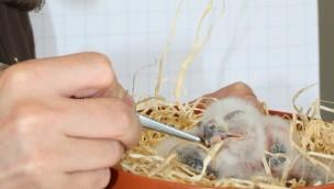Tier- und Freizeitpark Thüle zieht zwei Schneeeulen-Babys mit der Hand auf