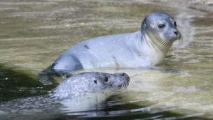 """Zoo Osnabrück 2017 mit Seehund-Nachwuchs: """"Fenja"""" zur Welt gekommen"""