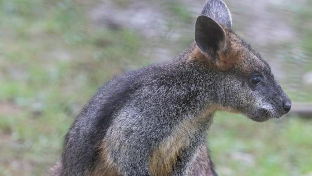 Tierpark Hellabrunn Sumpfwallaby 2017