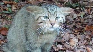 Wildkatze im Freizeitpark Lochmühle