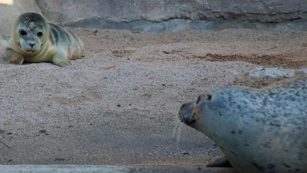 Seehündin Gina mit Jungtier Felix im Zoo Karlsruhe