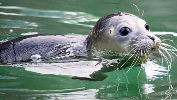 Zoo Karlsruhe Seehundbaby schwimmt 2017