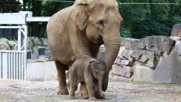 Zoo Osnabrück Elefantenjungbulle Minh-Tan mit Mutter Douanita