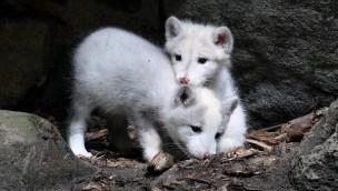 Erstmals Nachwuchs bei den Polarfüchsen im Zoo Rostock: Schwarz, weiß und neun auf einen Streich