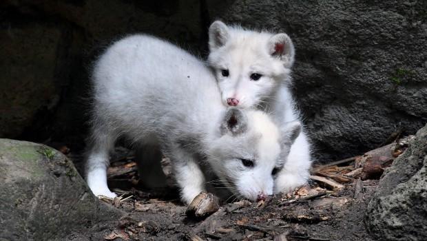 Zoo Rostock Erstmals Nachwuchs Polarfüchse