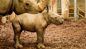 """Nashorn-Baby in Burgers' Zoo geboren: Nach Totgeburt bringt """"Izala"""" kerngesundes Junges zur Welt"""