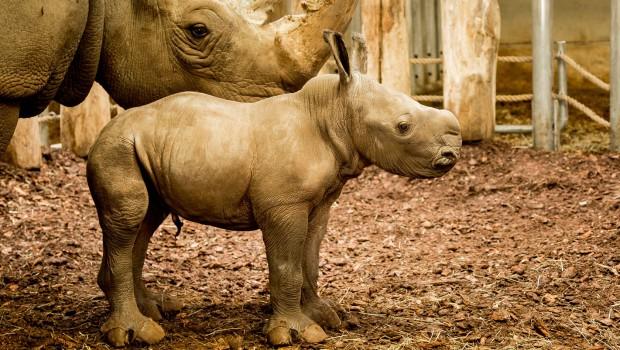 Burgers' Zoo mit Nashorn-Baby Wiesje 2017