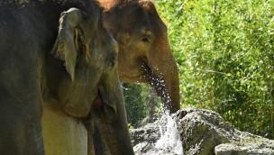 Elefanten trinken Wasser im Tierpark Hellabrunn
