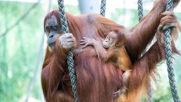 Orang Utan Jungtier Mutter Tierpark Hellabrunn