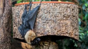 """""""Bat Night"""" 2017 in Hellabrunn: Tierpark präsentiert Wochenende der Fledermäuse"""