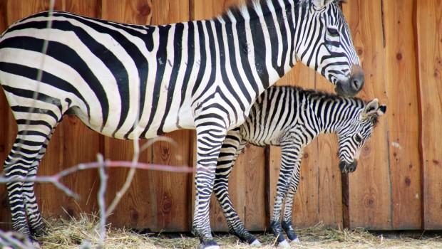 Zebra-Fohlen im Zoo Karlsruhe
