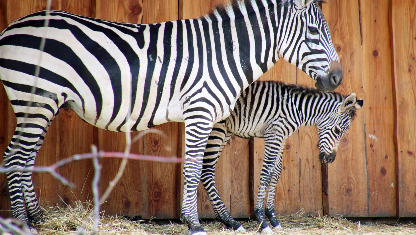 zebras im karlsruher zoo geboren zwei fohlen im zoologischen stadgarten. Black Bedroom Furniture Sets. Home Design Ideas