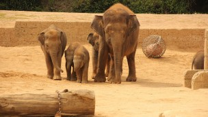 Staatsanwaltschaft Hannover stellt Verfahren gegen Zoo Hannover ein: Keine Tierquälerei in der Elefantenhaltung
