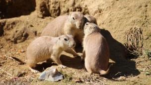 """Zoo Osnabrück freut sich über Neuzugänge: 13 Präriehunde im """"Unterirdischen Zoo"""" eingezogen"""