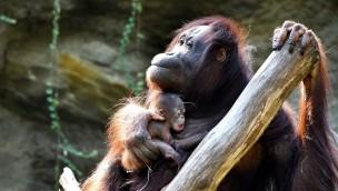 "Zoo Rostock Orang-Utan ""Hsiao Ning"" mit Orang-Utan-Mädchen"