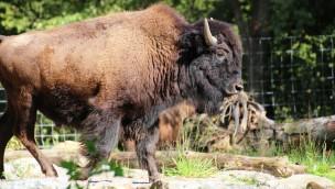 """Zoo Osnabrück begrüßt Bisons: Erster Teil der neuen Tierwelt """"Manitoba"""" geöffnet"""