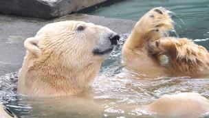 """Eisbär """"Lars"""" aus dem Zoo Rostock in Dänemark verstorben"""