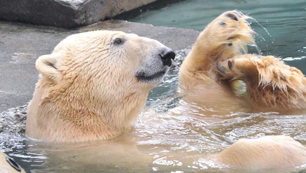 Eisbär Lars im Zoo Rostock
