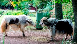 Hellabrunner Yak-Herde vergrößert: Zwei neue Kühe im Münchner Tierpark