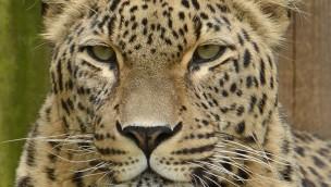 Persische Leoparden zurück im Allwetterzoo Münster