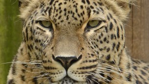 Jahrom Leopard im Allwetterzoo Münster