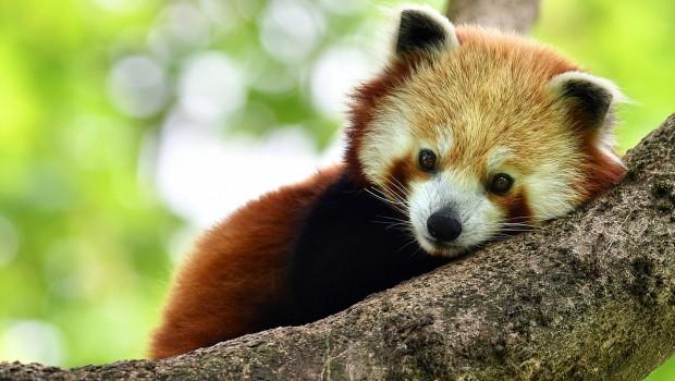 Roter Panda im Tierpark Hellabrunn