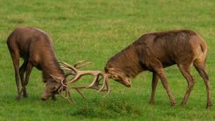 Rothirsche Duell im Wildparadies Tripsdrill