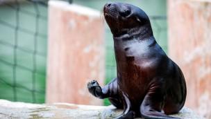 """Robbenbaby """"Ronny"""" erkundet die neue Polarwelt im Tierpark Hellabrunn"""