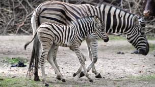 """Der Zoo Rostock sucht Tierpaten und Namen für zwei Jungtiere: Wisentbulle """"Wilson"""" und Zebrahengst """"Amref"""" sorgen für Nachwuchs"""
