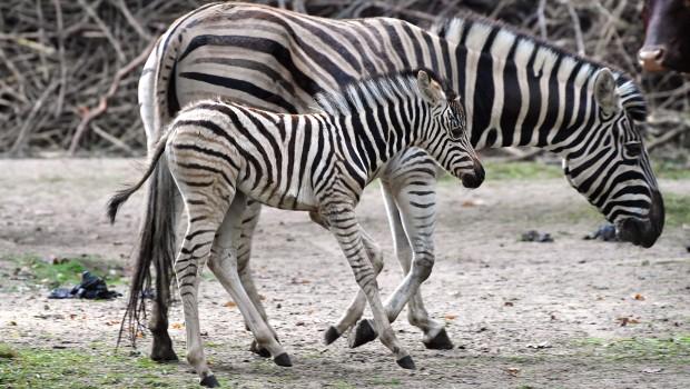 Zoo Rostock Nachwuchs Zebra