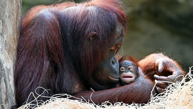 Zoo Rostock Orang-Utan Hsiao Ning mit Orang-Utan-Mädchen Niah