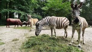 Zoo Rostock Zebras