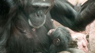 """Schimpansen in der ZOOM Erlebniswelt mit Nachwuchs: Erstes Baby von """"Jahaga"""""""