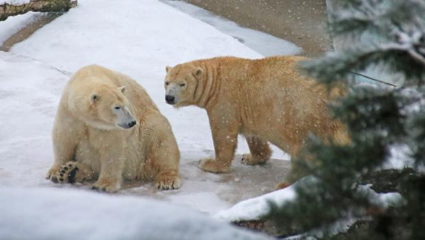 Eisbären im Schnee im Zoo Karlsruhe