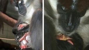 Rotscheitelmangabe Zoo Karlsruhe Baby 2017